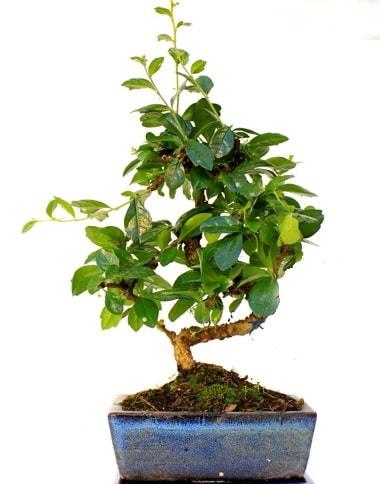 S gövdeli carmina bonsai ağacı  Karaman çiçekçi mağazası  Minyatür ağaç