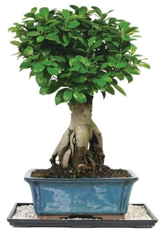 Bonsai Ginsing Grafted Ficus Bonsai  Karaman çiçekçi mağazası