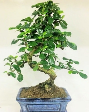 Zelkova S gövdeli Minyatür ağaç Bonzai  Karaman çiçek siparişi sitesi