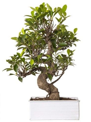 Exotic Green S Gövde 6 Year Ficus Bonsai  Karaman hediye çiçek yolla